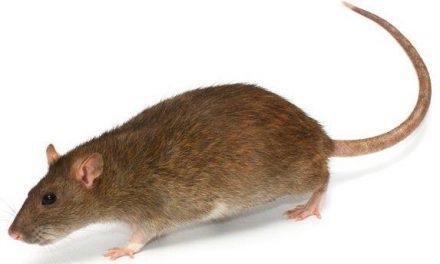 Van de ratten besnuffeld?