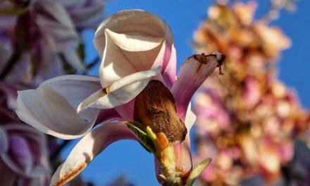 De Magnolia