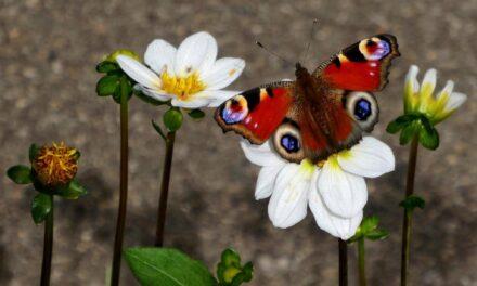 De Dagpauwoog in de Bijenhoek