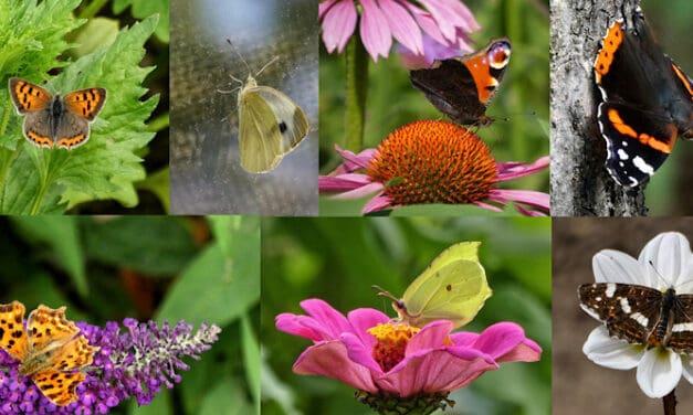 Vlinders in de Bijenhoek